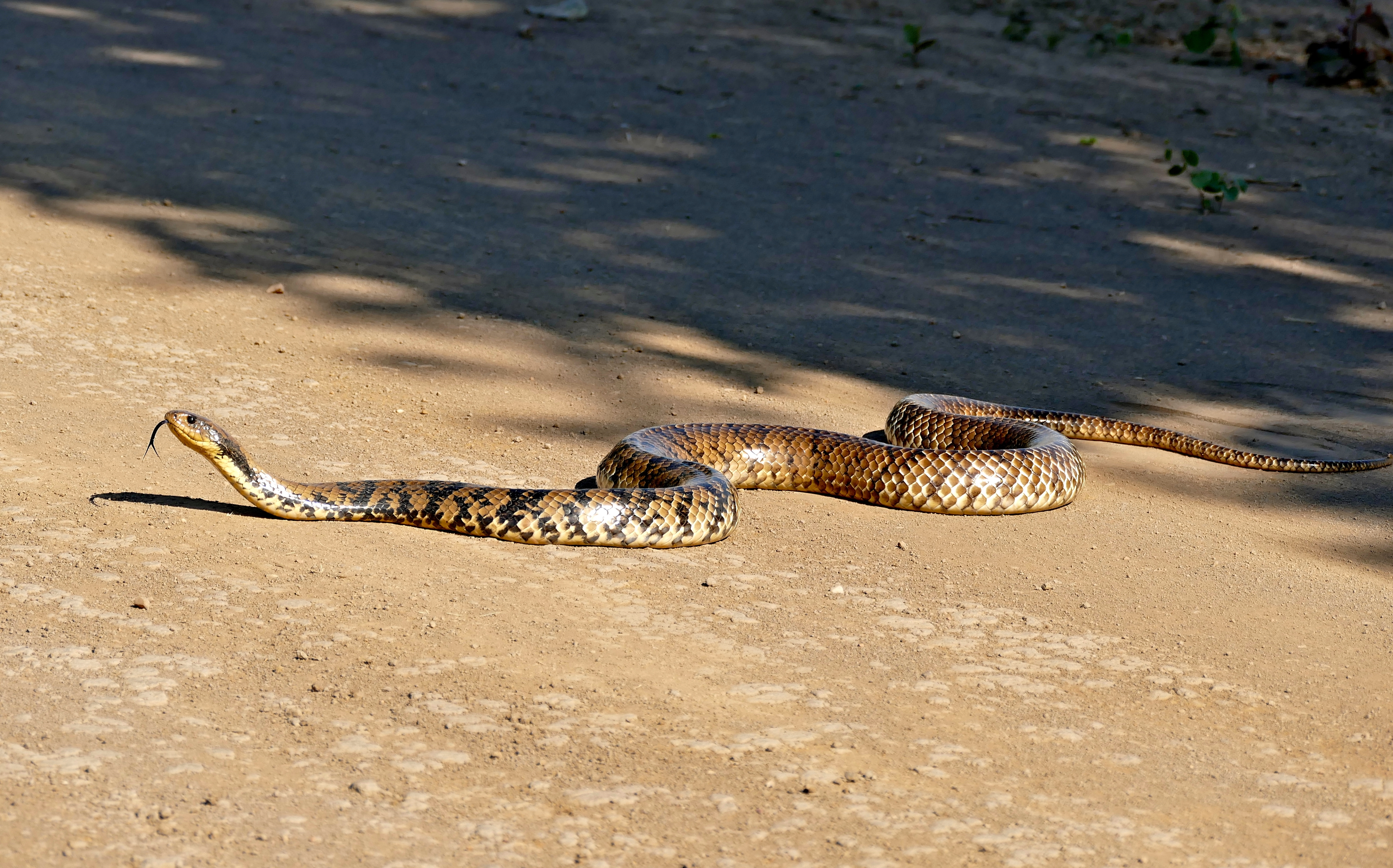 Image of False water snake