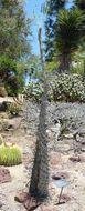 Image of boojum tree