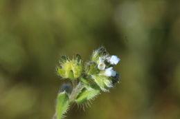 Image of flatspine stickseed