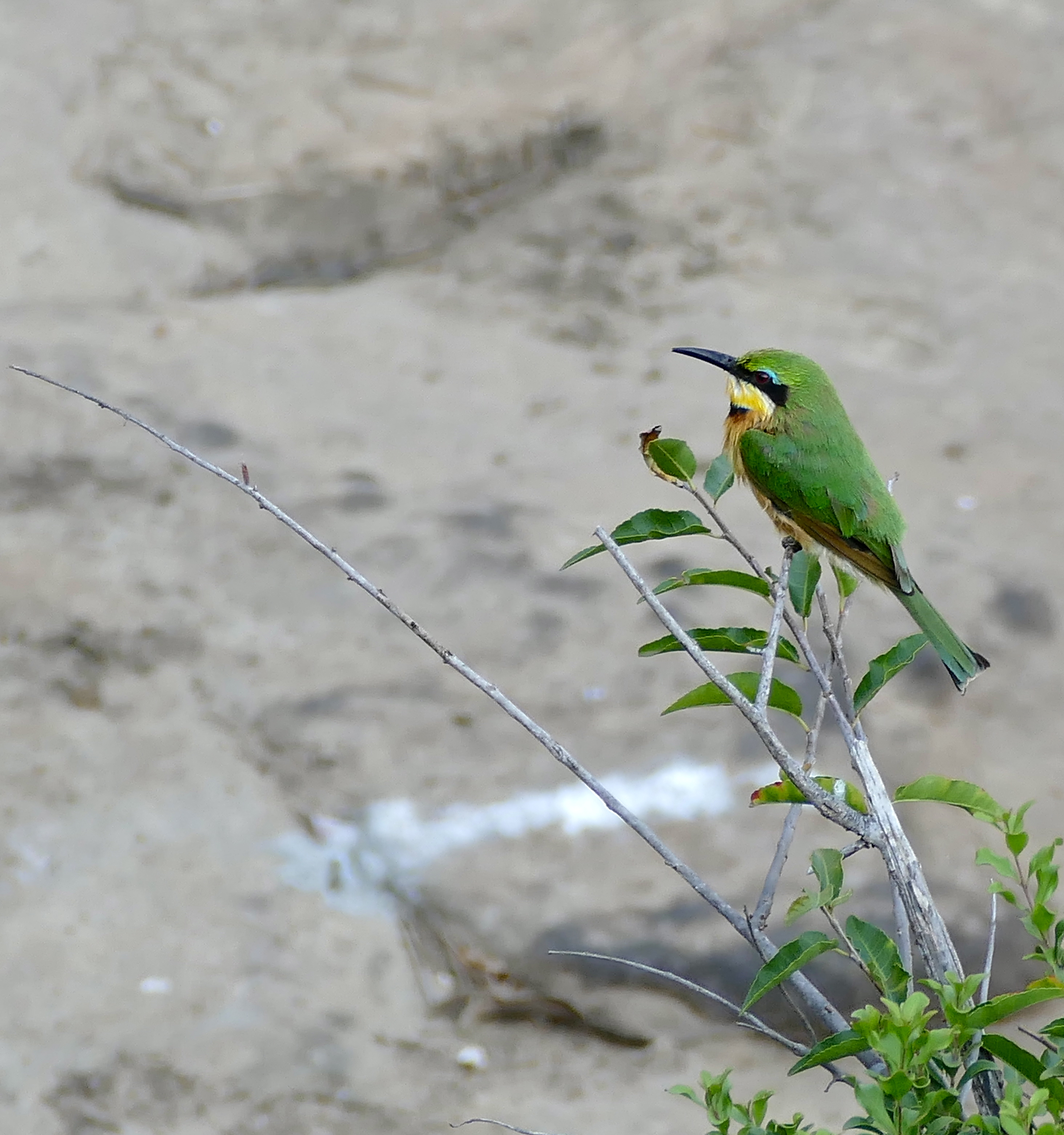 Image of Little Bee-eater