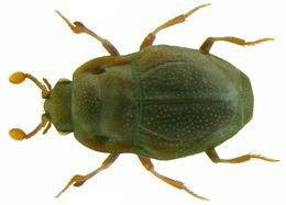 Image of <i><i>Plegaderus</i></i> (Plegaderus) <i>dissectus</i> Erichson 1839