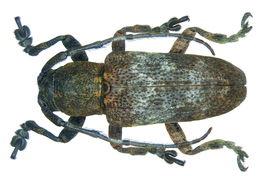 Image of <i>Pterolophia melanura</i> (Pascoe 1857)