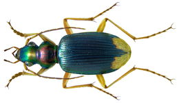 Image of <i>Chlaenius</i> (<i>Chlaeniostenus</i>) <i>apicalis</i> (Wiedemann 1819)