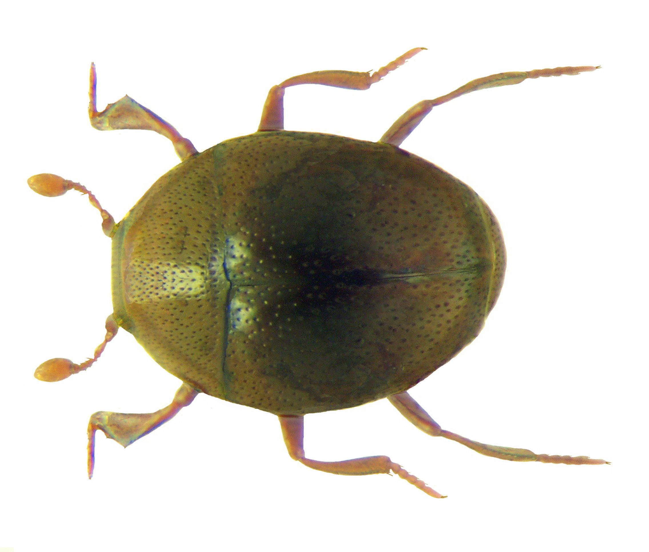 Image of <i><i>Abraeus</i></i> (Abraeus) <i>perpusillus</i> (Marsham 1802)