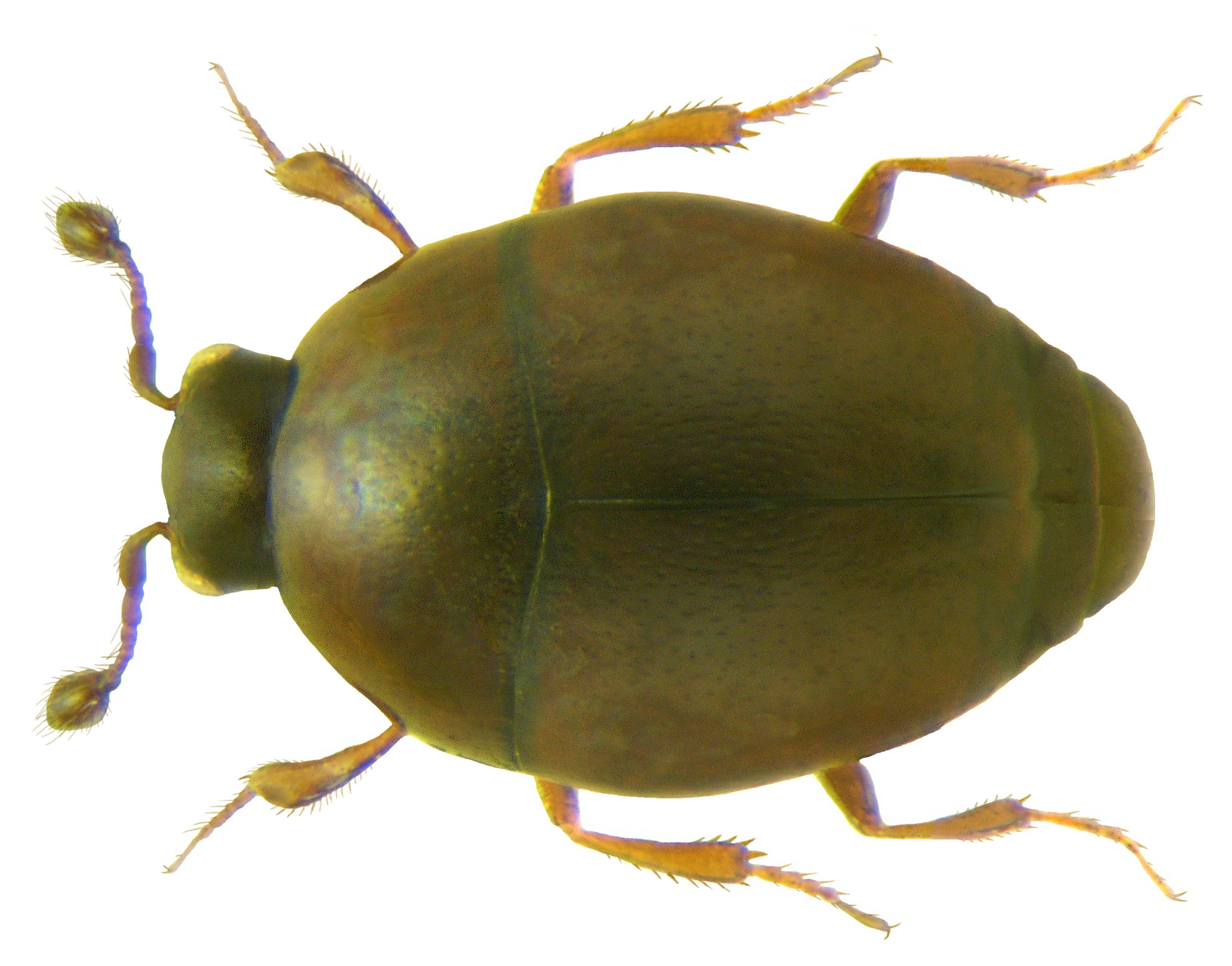 Image of <i><i>Acritus</i></i> (Acritus) <i>nigricornis</i> (Hoffmann 1803)