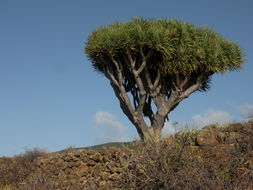 Image of Canary Island Dragon Tree
