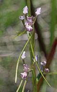 Image of <i>Diuris parvipetala</i> (Dockrill) D. L. Jones & M. A. Clem.