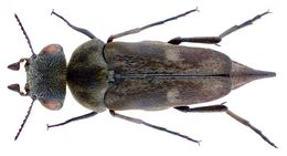 Image of <i>Tomoxia bucephala</i> (Costa 1854) Costa 1854