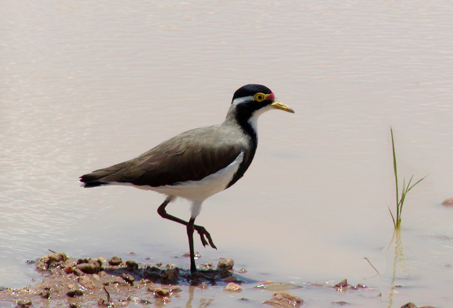 Image of Banded Lapwing