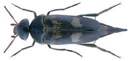 Image of <i>Variimorda villosa</i> (Schrank 1781) Schrank 1781
