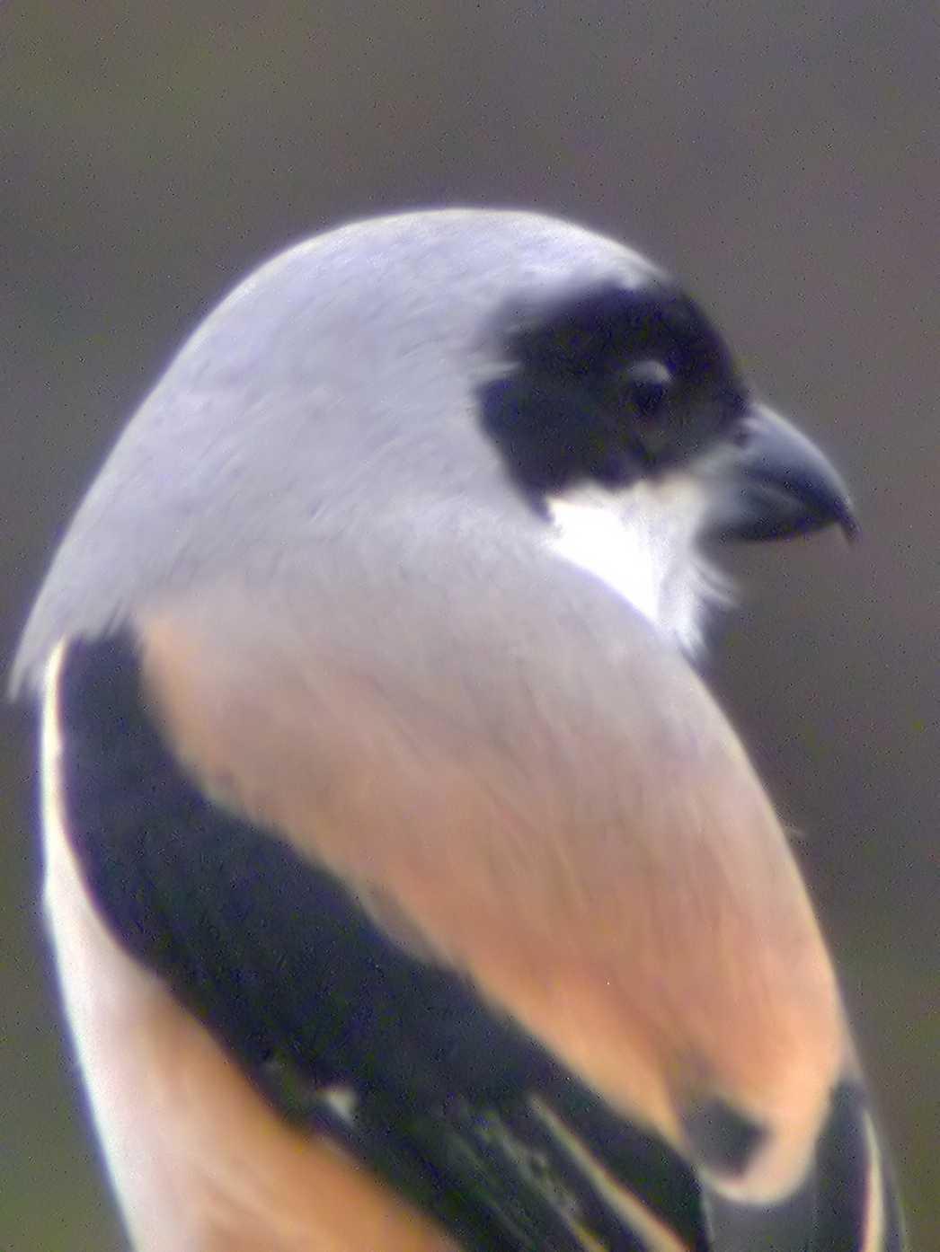 Image of Brown Shrike