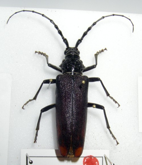 Image of <i>Cerambyx miles</i> Bonelli 1823