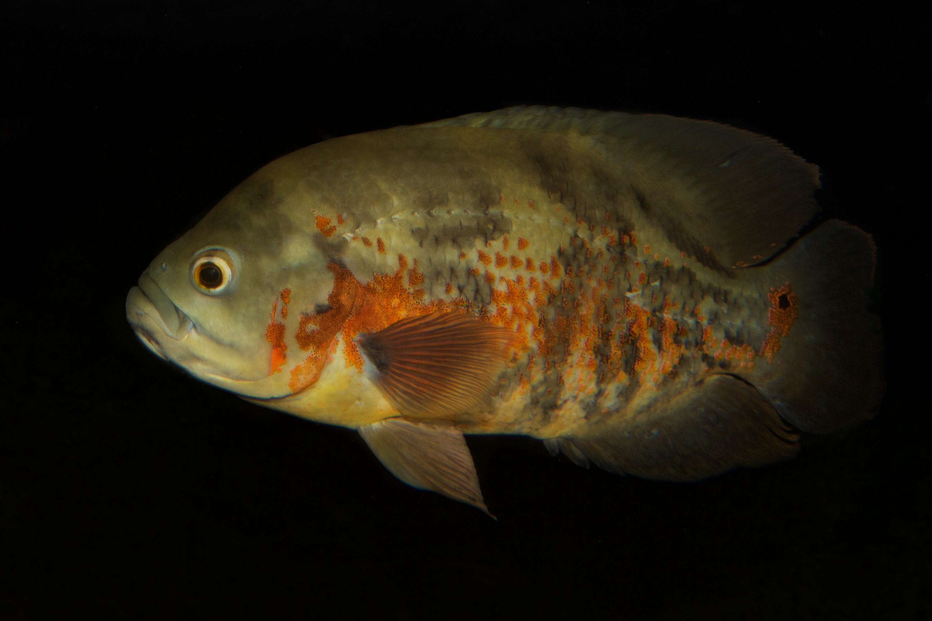 Image of Marble cichlid