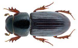 Image of <i>Liothorax kraatzi</i> (Harold 1868)