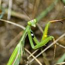 Image of European mantis