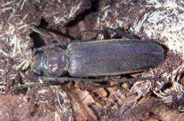 Image of <i>Arhopalus ferus</i> (Mulsant 1839)