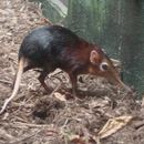 Image of Black and Rufous Elephant Shrew