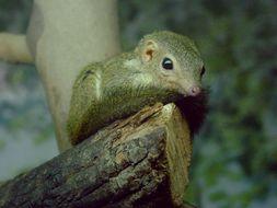 Image of Lesser tree shrew