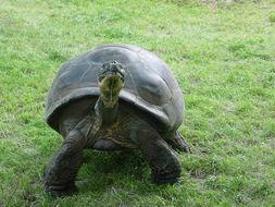 Image of Galapagos tortoise