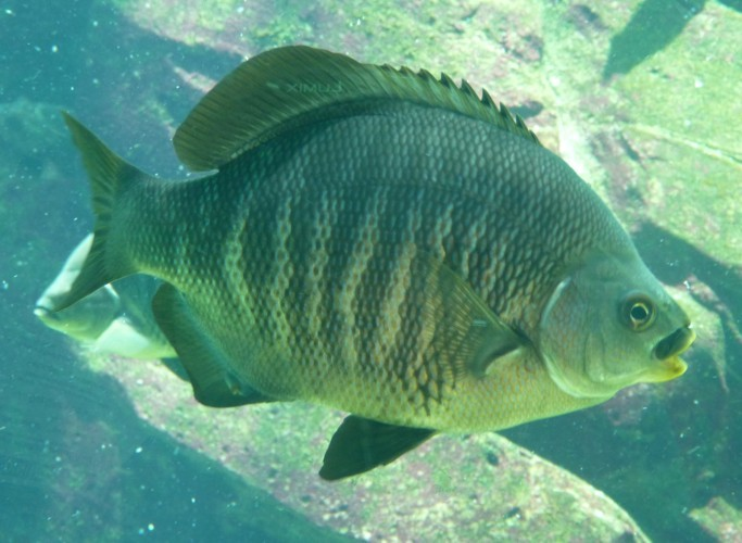 Image of Black perch