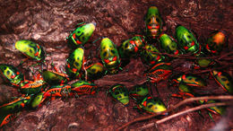 Image of Harlequin bugs