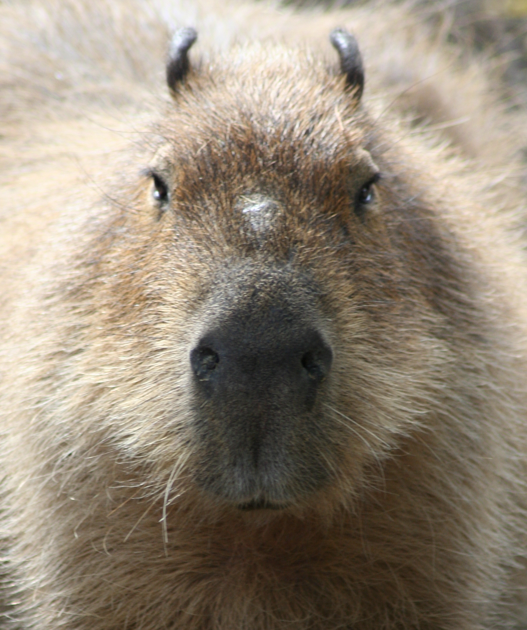 Image of Capybara