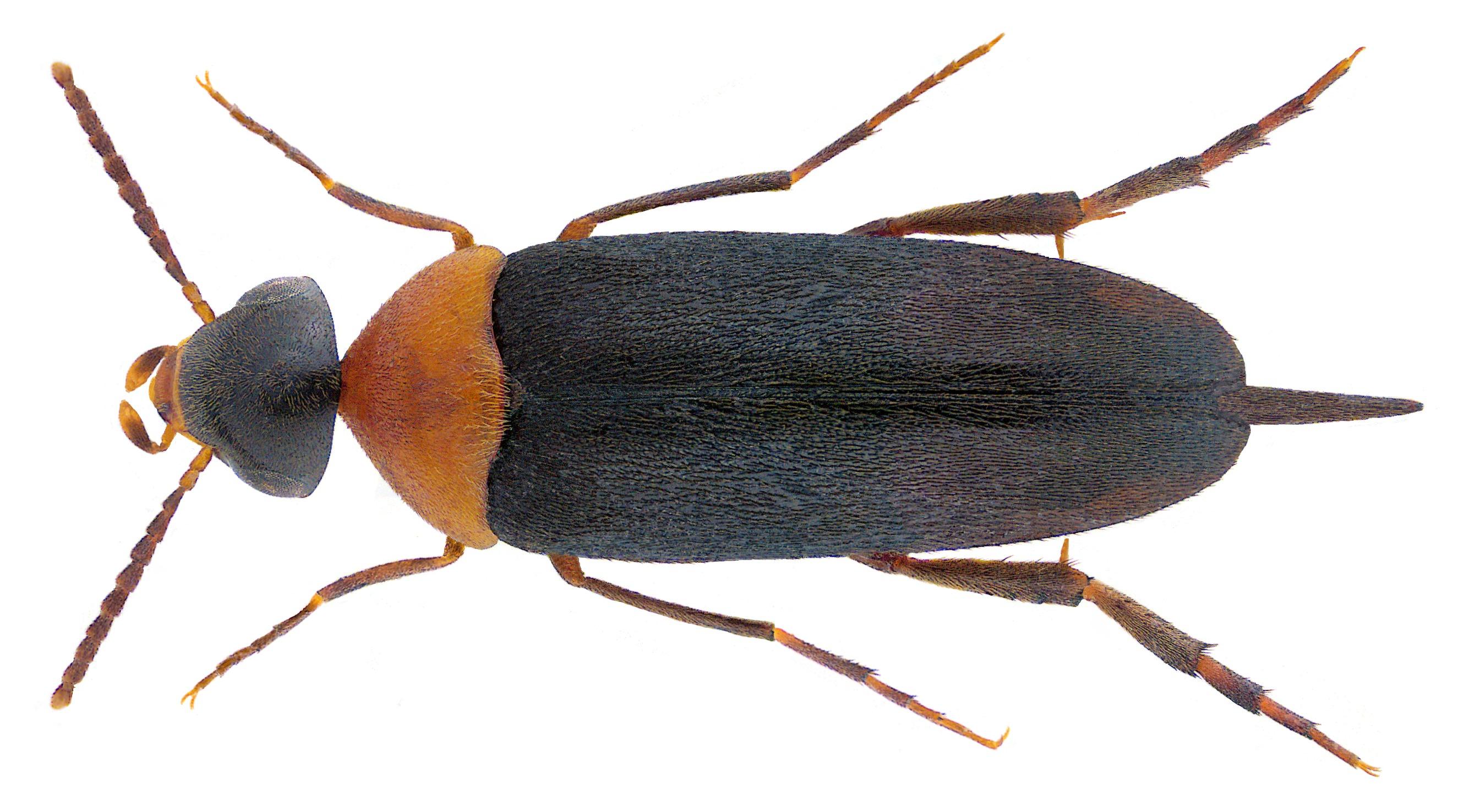 Image of <i>Mordellochroa abdominalis</i> (Fabricius 1775) Fabricius 1775