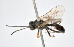 Image of <i>Canidia corvina</i>
