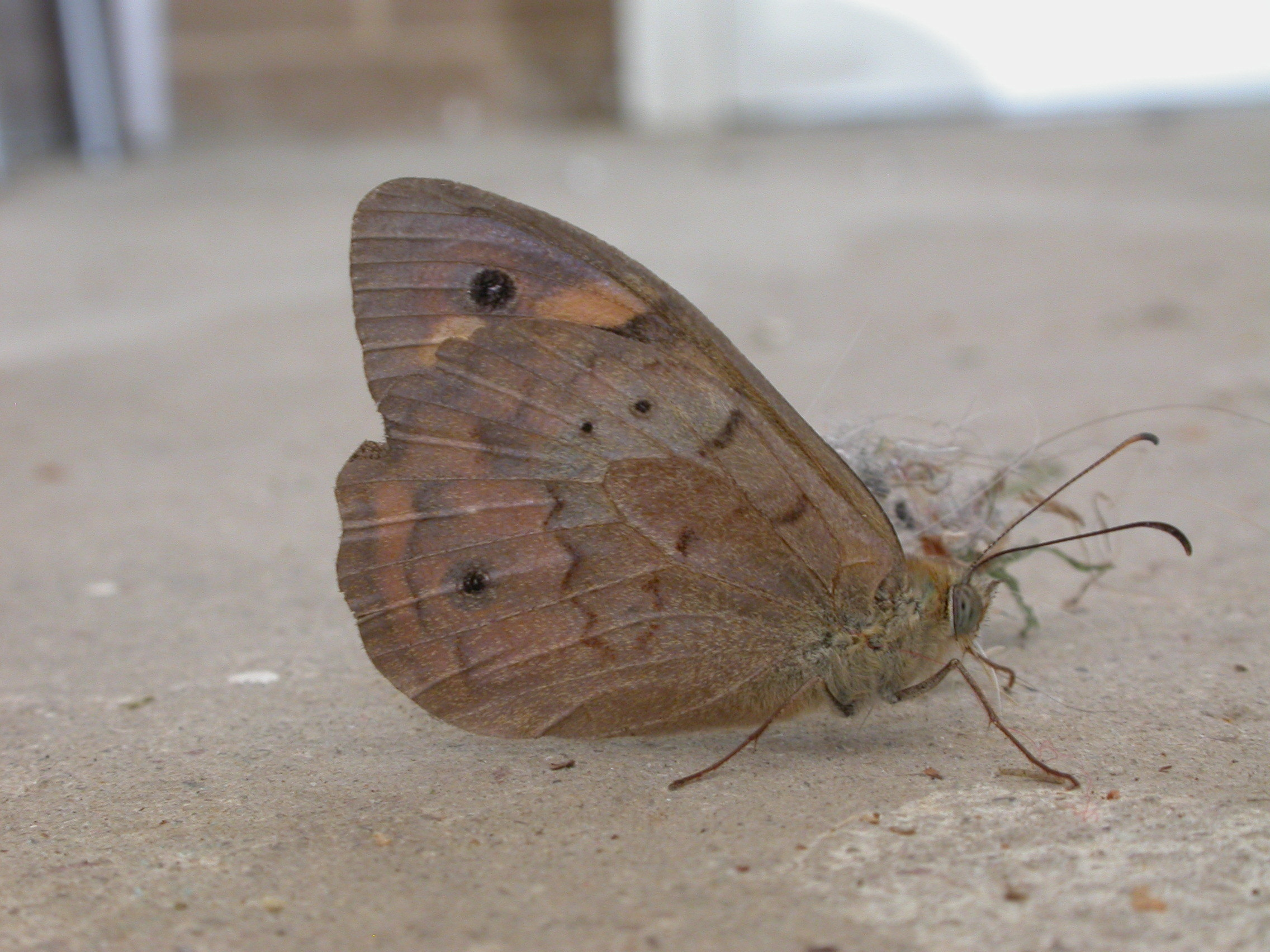 Image of Common Brown