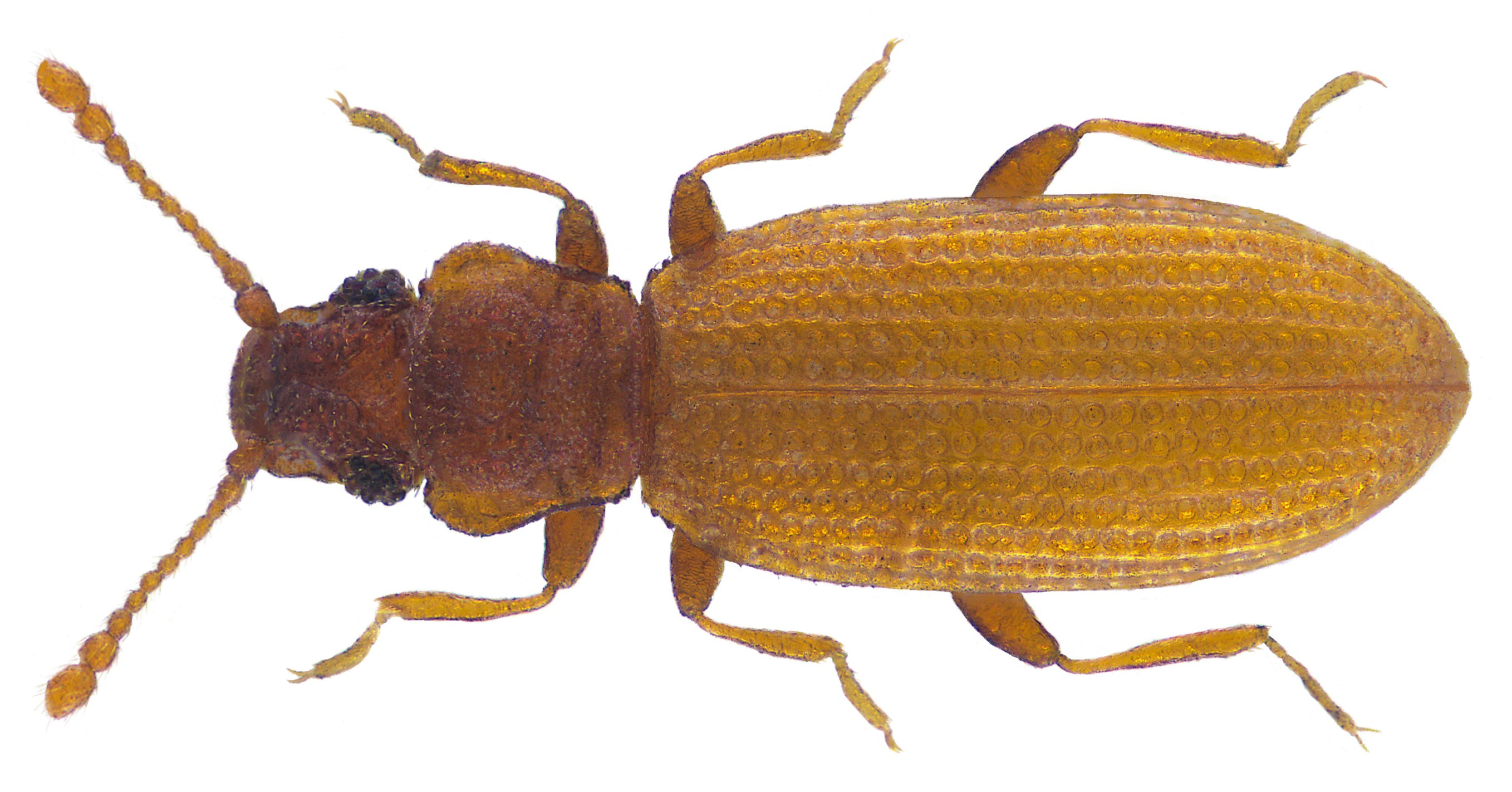 Image of Common Plaster Beetle