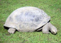 Image of <i>Geochelone gigantea</i>