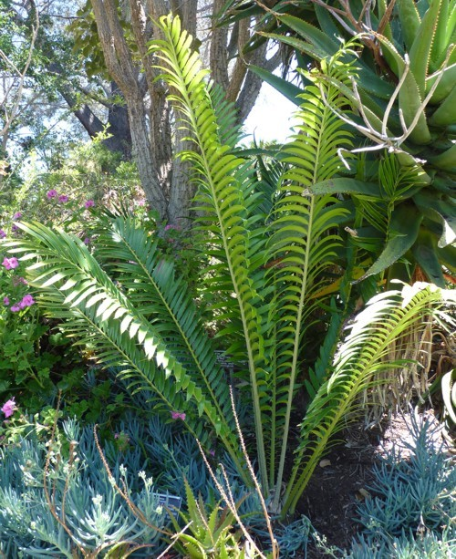 Image of Ituri Forest Cycad