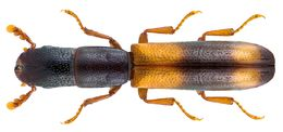 Image of <i>Nemosoma elongatum</i> Linnaeus 1761