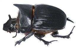 Image of <i>Heliocopris dominus</i> Bates 1868