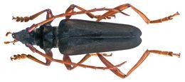 Image of <i>Mecosaspis atripennis</i> (Hope 1843)