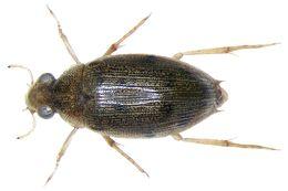 Image of <i>Berosus elongatulus</i>