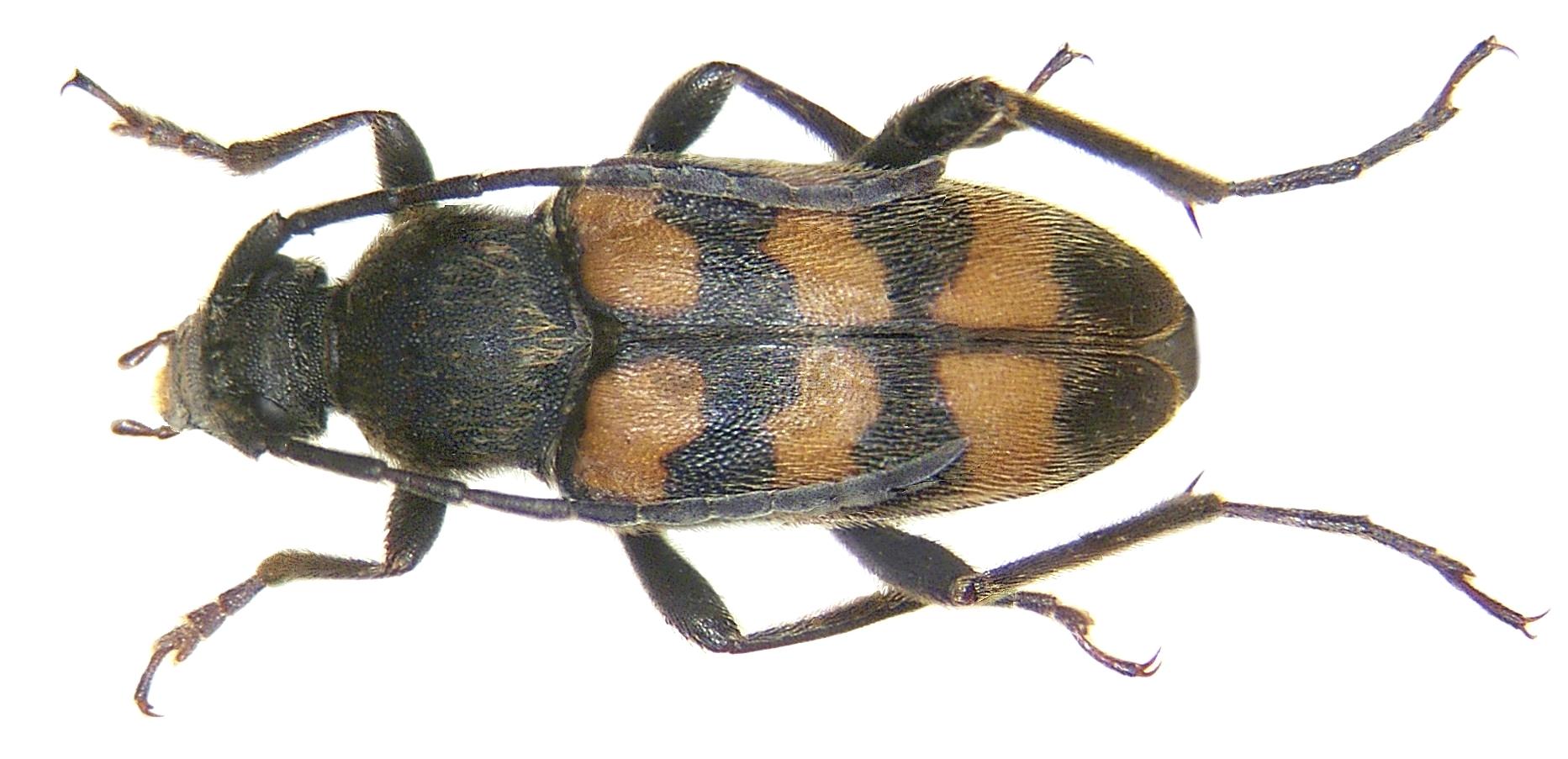 Image of <i>Pachytodes erratica</i>
