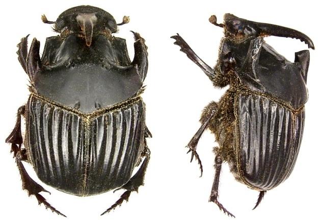 Image of <i>Sulcophanaeus faunus</i> (Fabricius 1775)