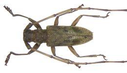 Image of <i>Acalolepta fasciata</i> (Montrouzier 1855)