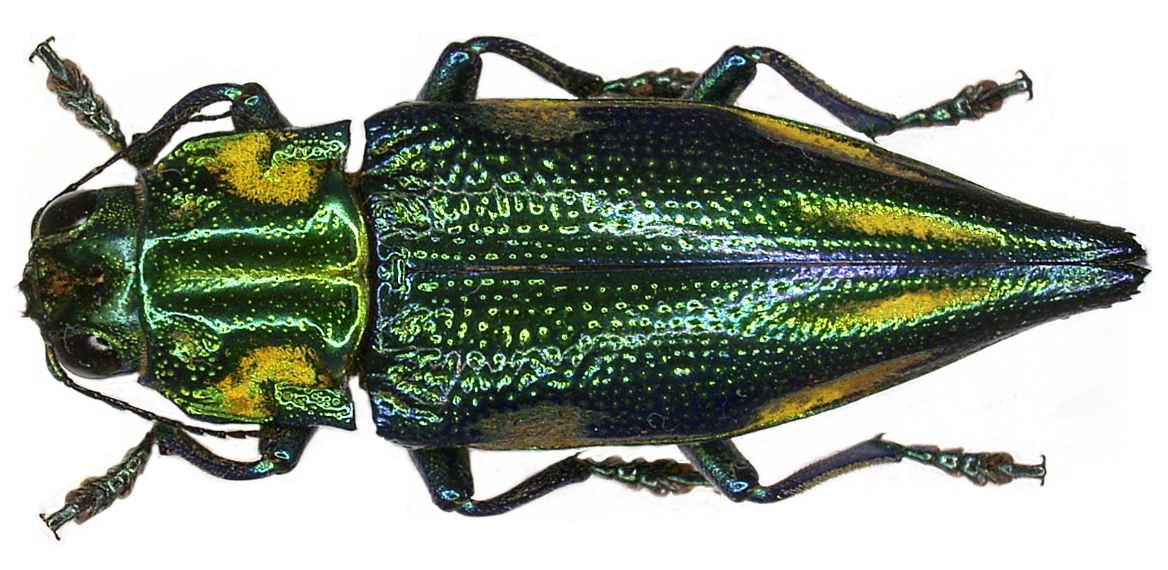 Image of <i>Cyphogastra farinosa</i> (Fabricius 1775)