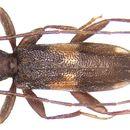 Image of <i>Penichroa fasciata</i> (Stephens 1831)