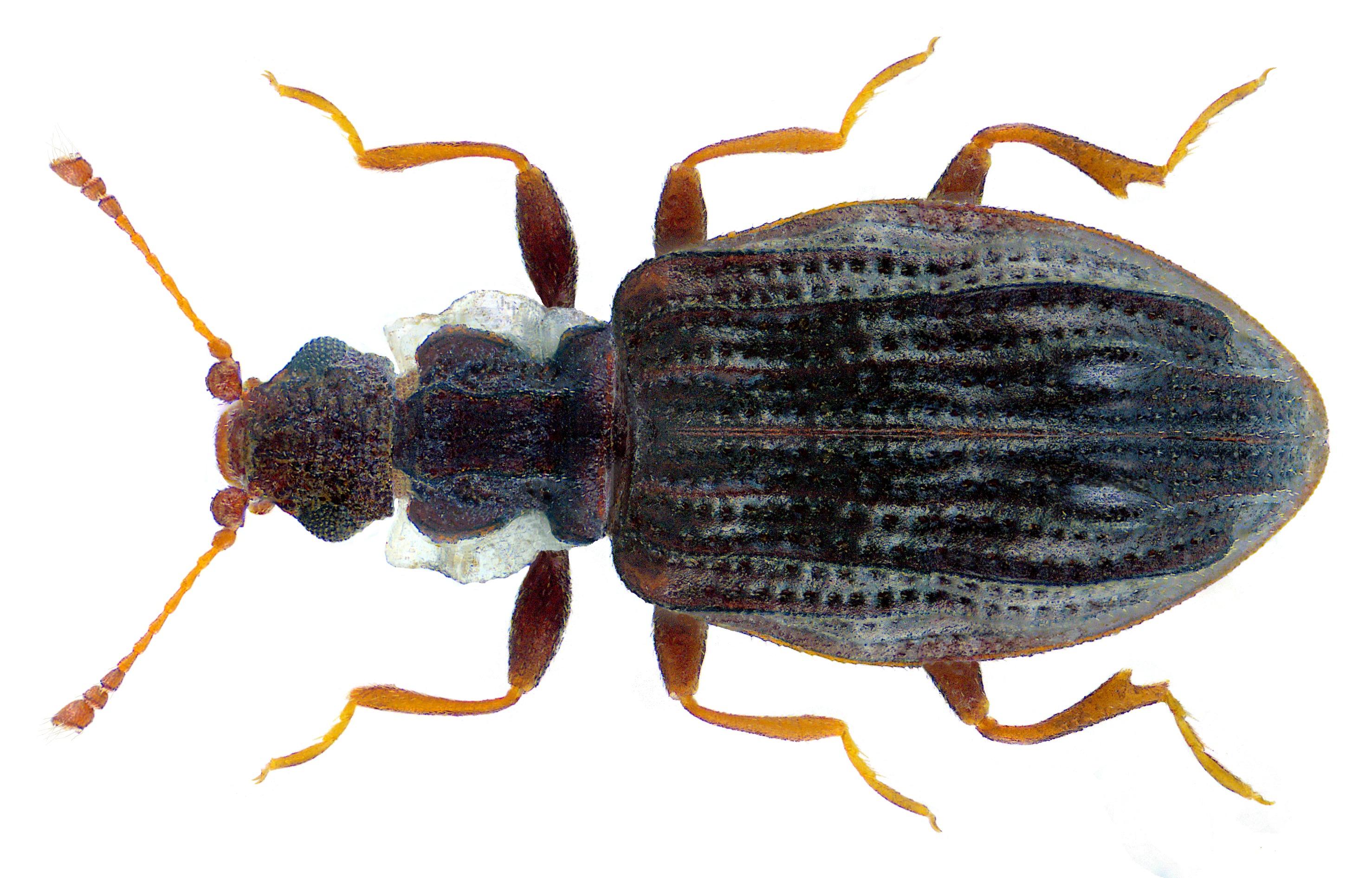 Image of <i>Cartodere nodifer</i>