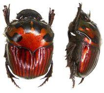 Image of <i>Oxysternon <i>festivum</i></i> ssp. festivum
