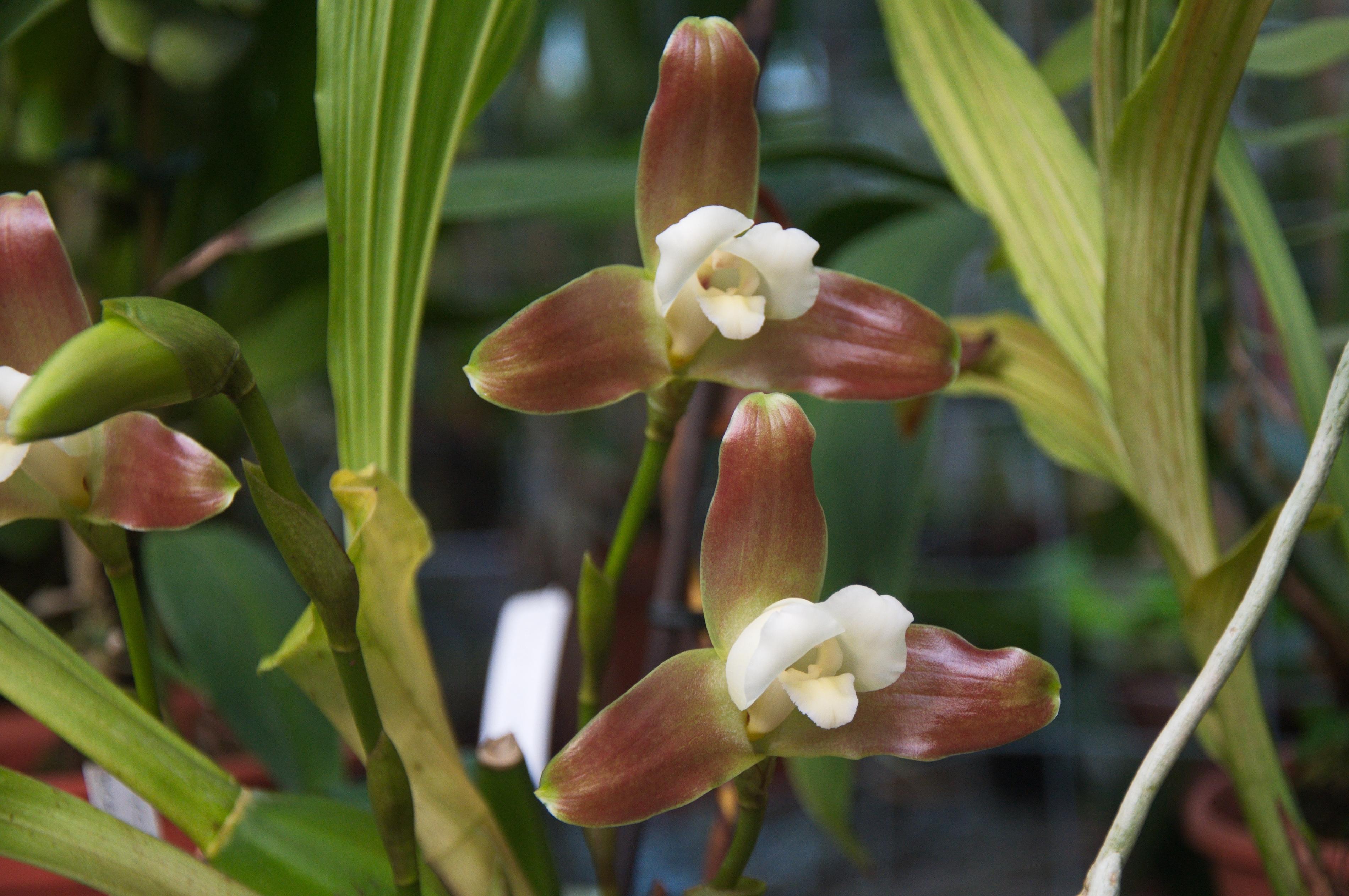 Image of <i>Lycaste macrophylla</i> (Poepp. & Endl.) Lindl.