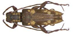 Image of <i>Mimosybra flavomaculata</i> Breuning 1964