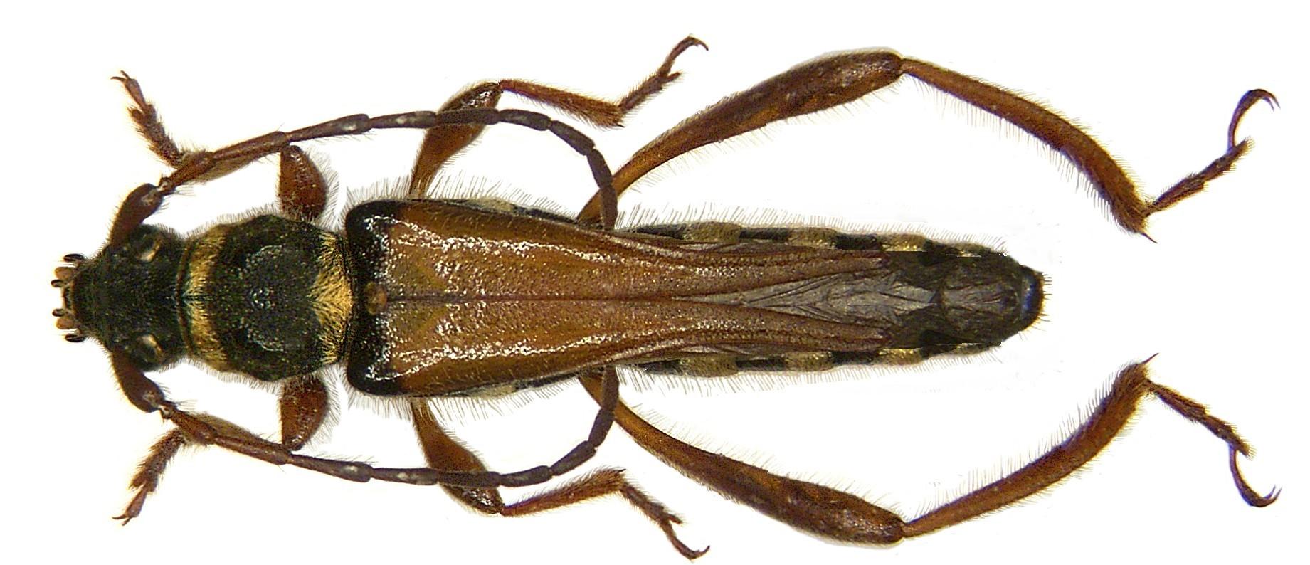 Image of <i>Stenopterus flavicornis</i> Küster 1846
