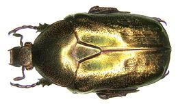 Image of <i>Protaetia</i> (<i>Potosia</i>) <i>fieberi</i> (Kraatz 1880)