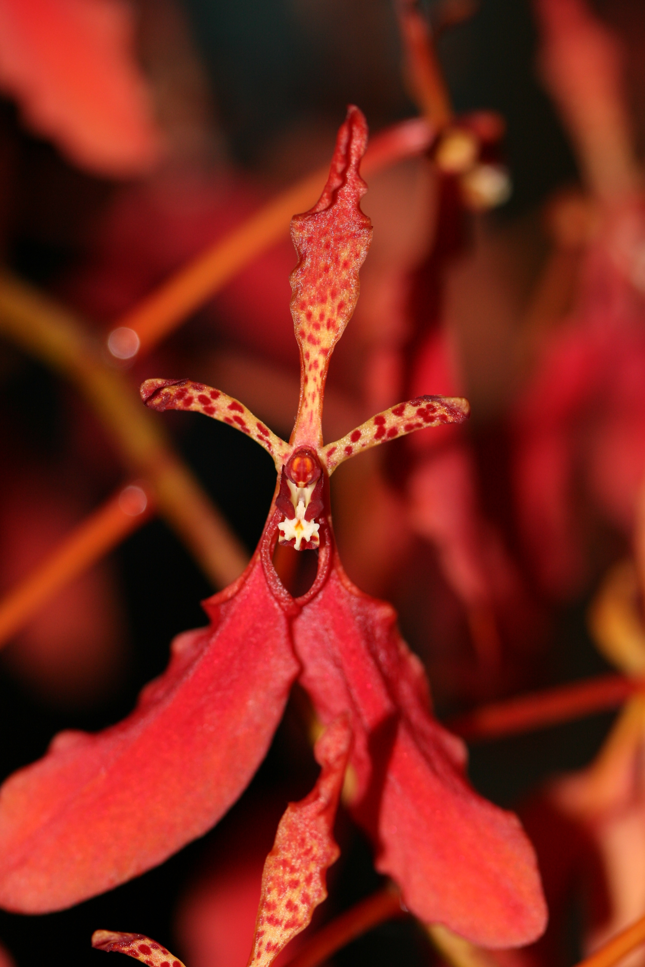 Image of Red Vanda Orchid