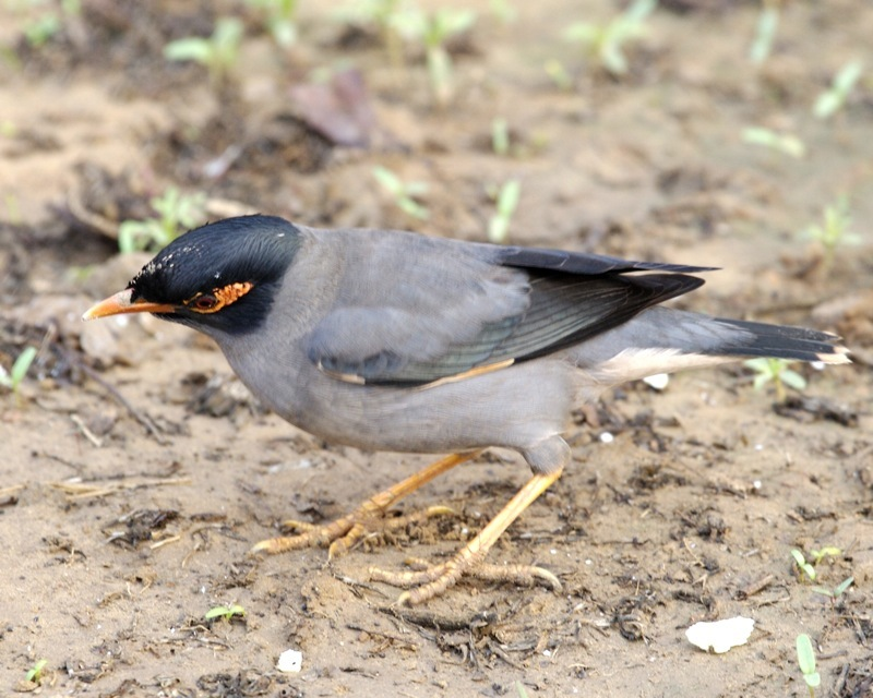 Image of Bank Myna