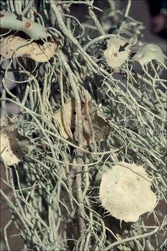 Image of Beard lichen